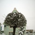 Die kugelförmigen Rotdornbäume im Dorf sind für die Spatzen ein sicherer Schutz. Foto: © M. Simon