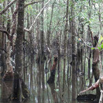 Mangovenwald