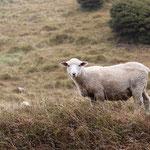 Auch hier Schafe überall..