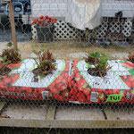 Der 84-Jährige Paul auf dem Campingplatz in Pahoa schaut nach dem rechten und planzt Erdbeeren an...