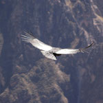 Ich habe einen Condor gesehen! Riesenvögel mit 4m Spannweite!