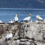 Das sind Gannet-Birds