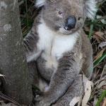 Koalas am Wegesrand in Cape Otway