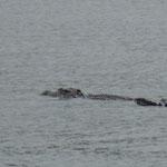 Krokodil im Daintree-River