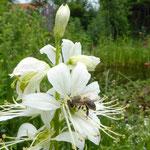 Biene auf Diptam