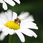 Biene auf Margerite