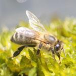 Biene im Moos beim Wasseraufnehmen