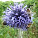 Bienen auf Kugeldistel