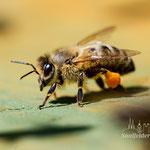 Arbeiterin mit Pollenhöschen an den Hinterbeinen
