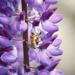 Biene auf Lupine