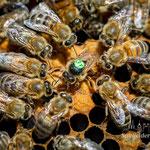 Bienenkönigin bei der Eiablage (Hinterteil in der Wabe)