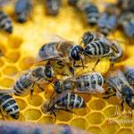 Drohne (männliche Biene) Mitte