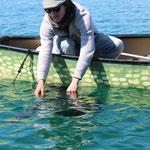 ...aber in der Laichzeit darf dieser Fisch wieder schwimmen und sich vermehren!