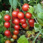 Tomates cerises semées par les oiseaux