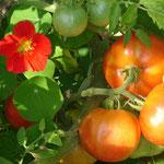 Tomates oranges et capucines