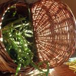 Récolte de haricots verts