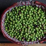 Récolte d'olives
