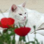 Chat blanc derrière les coquelicots