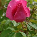 Rose rose ancienne et très parfumée