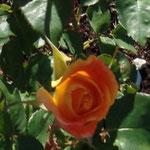 Rose de Ronsard