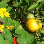 Tomate jaune et capucines