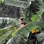 Vor unserem Balkon genießt der Affe seine Banane