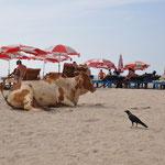 Auch eine Kuh macht mal Strandurlaub