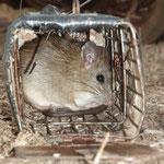 Rudi, die Ratte