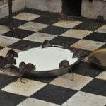 Überall laufen die Ratten rum und werden gefüttert.