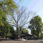 Diesen Baum pflanzte Gandhi 1936