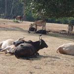 Während die anderen Kühe auf der Wiese kuscheln...