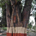An diesem Baum hängt das Metall-Teil auf dem regelmäßig geläutet wird....