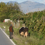 eine Kuh wird Gassi geführt