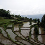 Reis besetzt mehr als die Hälfte der landwirtschaftlichen Flächen. Die jungen Nepalis wollen übrigens auch nicht mehr in den Feldern schuften ...