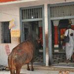 Die Kuh möchte auch mal in den Tempel