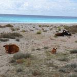 mittendrin ein paar freilaufende Kühe