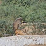 Wir füttern den Affen mit einer Banane - er isst das Ding samt Schale