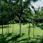 Haselnuß stützt Apfelbaum...