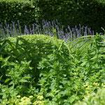 Buxkrankheiten langfristig erfolgreich behandeln -  ein aktuelles Gartenthema