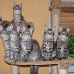 Gruppenbild unseres F-Wurfes, oben: Frieda links und Fritz rechts, unten v.links nach rechts: Franklyn, Freidolin, Flanell, Florence und Figaro