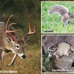 Fauna de Nuevo Leon en peligro de extincion: Venado cola blanca, ardilla y cacomixtle