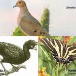 Aves de Nuevo Leon: Huilota, hocofaisan y mariposa cebrita.