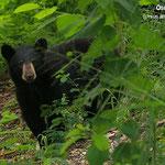 El oso negro ha bajado de las sierras de Nuevo Leon en busca de comida.