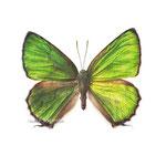 《黄昏(ミドリシジミ)》透明水彩・アルシュ 2015年