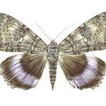 《灰の中から(ムラサキシタバ)》 透明水彩・アルシュ 2009年