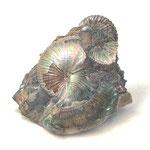 《満ちる(アンモナイトの化石)》 透明水彩・アルシュ 2018年