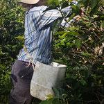 Récolte de café... ;-)
