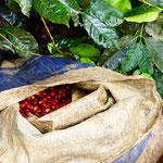 """""""Arroba"""" de café en train d'être remplie pendant la récolte"""