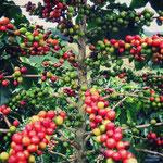 Seuls les grains rouges sont récoltés, les oranges et les jaunes sont laissés sur le caféier.