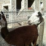 05-11-15 Lamas sur la route de Thiers (Puy-de-Dôme) !!